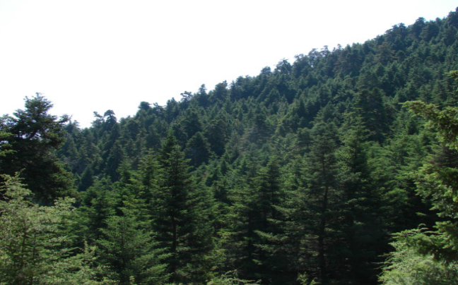 Ainos Trees